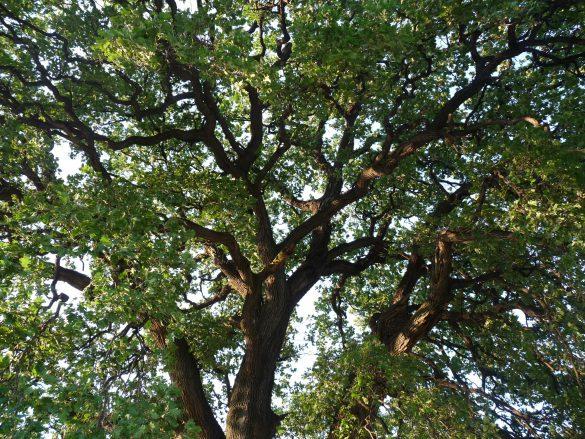 Bátaszéki Molyhos tölgy - év fája